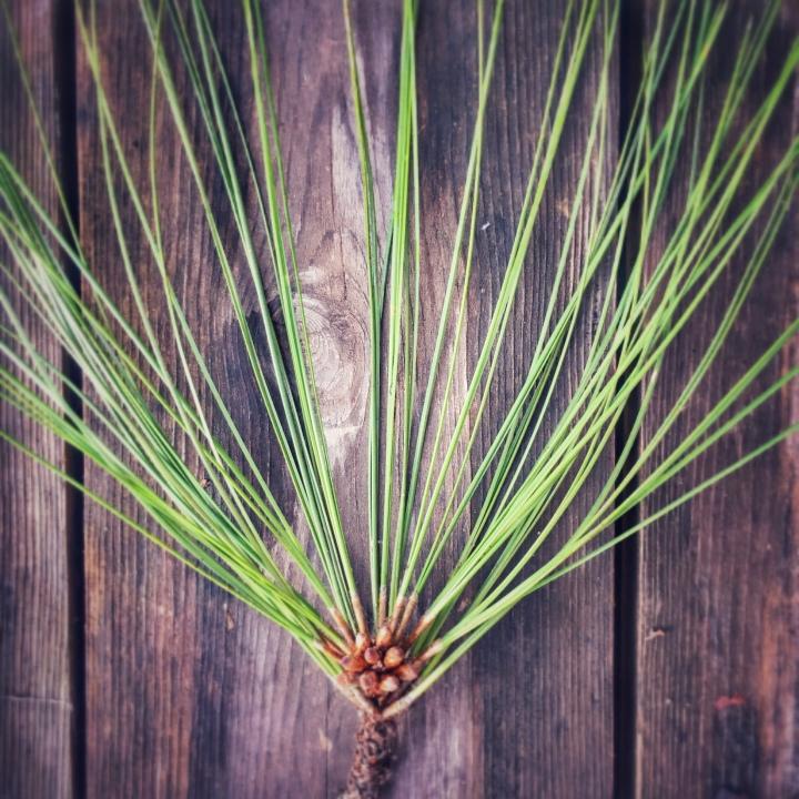 pine (c) LebasiPhotography.com